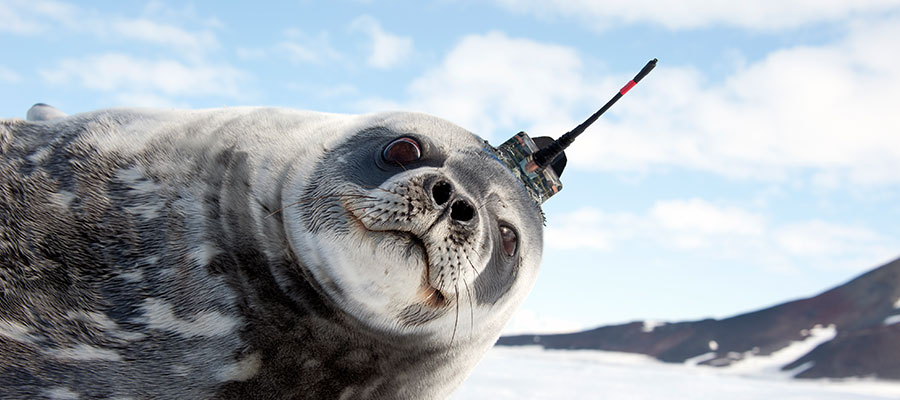 Seals gather data with SDL sensors